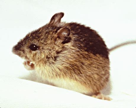 Preble's Jumping Mouse