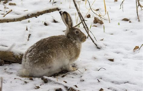 White-tailed Jackrabbit